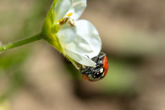 Animal life. Macro shot of a lady beetle sitting on a flower royalty free stock photo