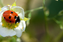 Animal life. Macro shot of a lady beetle sitting on a flower stock images