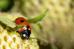 Animal life. Macro shot of a lady beetle sitting on a strawberry royalty free stock photography