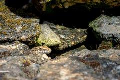 Animal life. Macro shot of a salamander Royalty Free Stock Photos
