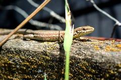 Animal life. Macro shot of a salamander Stock Photo