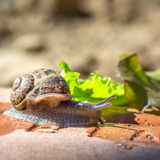 Animal life. Macro shot of a snail with green salad royalty free stock images