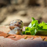 Animal life. Macro shot of a snail with green salad royalty free stock photo