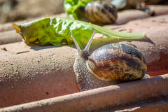 Animal life. Macro shot of a snail with green salad royalty free stock photography