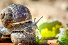 Animal life. Macro shot of a snail with green salad stock photo