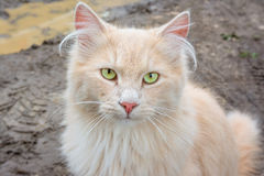 Animal life. Portrait of a white tomcat with long fur stock photography