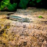 Animal life. Salamander hunting for sun and food Royalty Free Stock Photos