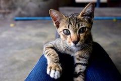 animal lindo del gatito Fotos de archivo