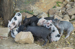 Animal little pigs of motley color. The Animal little pigs of motley color Stock Images
