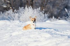 Animal little red Corgi puppy walks in the Sunny winter pack in deep white snow stock images