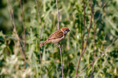 Animal little sparrow on a branch Royalty Free Stock Images