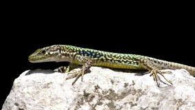 Animal lizard. Sitting on a rock behind a black background Royalty Free Stock Photography
