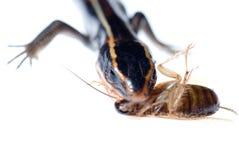 Animal lizard eat roach Royalty Free Stock Photos