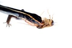 Animal lizard eat roach Royalty Free Stock Photography