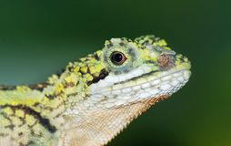 Animal lizard head Royalty Free Stock Photos