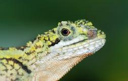 Animal lizard head royalty free stock photos