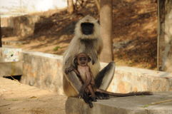 Animal love. The family of monkeys. Mother sits with the kid. Mother doesn't have the left arm Royalty Free Stock Image