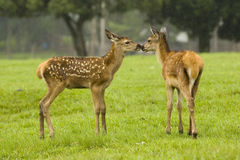 Animal love. Outdoors, affection between mammals Royalty Free Stock Photo