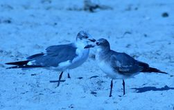 Animal love!. Love is enjoyed by birds as they travel the white sands of the beach in search of food and recreation Stock Photos