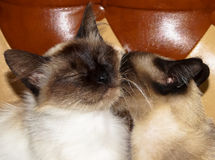 Animal love. A pet Siamese cat friend Royalty Free Stock Images