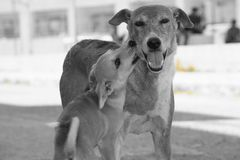 Animal love. Street dog& x27;s love Stock Photography