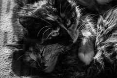 Love the cats. Very interesting photo closeup of two cats sleeps together. The cats is taking care about each other. Black and white gives to the photo special Royalty Free Stock Photography