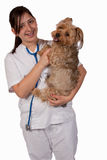 Animal Lover. Young hispanic girl in white nursing uniform and stethoscope holding a Yorkshire Terrier Dog smiling over white Stock Image