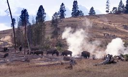 Buffalo and animal watchers in Yellowstone. Animal lovers and tourists watch as Bison graze among the geothermal vents in Yellowstone National Park stock photo