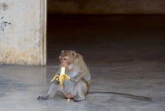 Animal: Macaco Fotografia de Stock Royalty Free