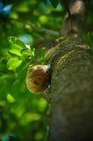 Animal macro do verde da mola da casa do caracol da árvore Foto de Stock Royalty Free