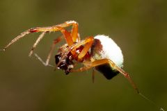 Small Spider eat insect. Animal macro of spider eat Eat the victim insect Stock Images