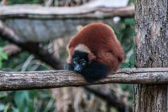 Animal Madagascar de la selva del lémur de Brown foto de archivo