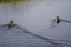 Animal. 2 mallards swimming males in the river Stock Images