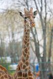 Animal mammal giraffe Stock Photography