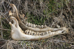 Animal Mandible. This jawbone, maybe from a horse, more likely from a cow, was found along the Deschutes River north of Tumalo, Oregon Royalty Free Stock Images