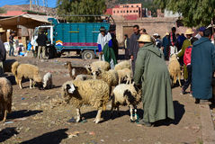 Animal market in Morocco. Local animal market place in Morocco, Africa. Farmer selling sheep Royalty Free Stock Photo