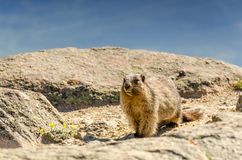 An animal marmot in the mountains among stones and moss, close-u Stock Photo