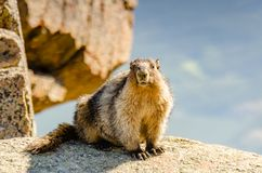 An animal marmot in the mountains among stones and moss, close-u Royalty Free Stock Photos