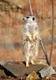 Animal - Meerkat Royalty Free Stock Image