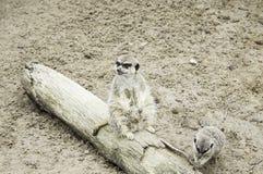 Animal meerkat Stock Images