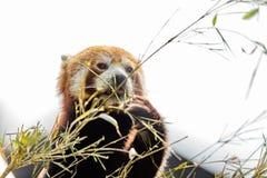 Animal mignon, un ours panda rouge mangeant le bambou, tout en tenant une branche en bambou avec ses pattes Fond clair de ciel photographie stock