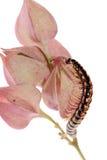 Animal millipede on flower Stock Photo