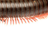 Animal millipede Stock Photos