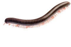 Animal millipede Royalty Free Stock Image
