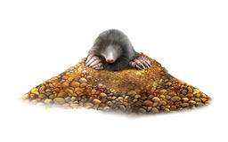 Animal Mole in molehill showing claws Royalty Free Stock Photography