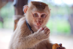 Animal - monkey. The little monkey looks at the world with their intelligent eyes Royalty Free Stock Image