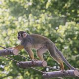 Animal monkey-protein runs along a rope ladder in a green forest.  Royalty Free Stock Photography