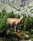 Animal in the mountains - chamois Stock Image