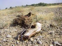 Animal muerto - esqueleto de un perro Fotos de archivo libres de regalías