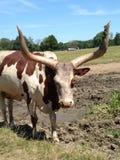 Animal muito irritado no jardim zoológico Fotografia de Stock Royalty Free